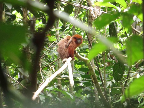 Possible New Primate Discovered in Peru | Rainforest EXPLORER:  News & Notes | Scoop.it