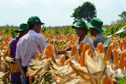 Vietnam approves commercial crops of GMO corn to cut imports - Thanhnien News (2015) | Ag Biotech News | Scoop.it