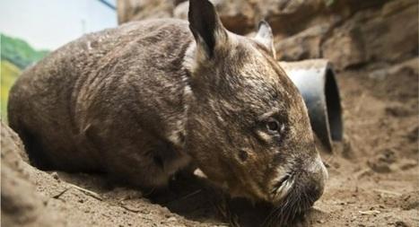 VIDEO: Australians urged to help save wombat species from extinction - Irish Examiner | GarryRogers NatCon News | Scoop.it