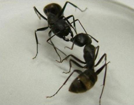Les fourmis s'échangent des messages via leurs antennes: on a identifié les molécules qui transmettent ces messages! | Ecologie Animale | Scoop.it