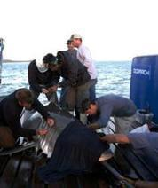 OCEARCH Completes Record-Breaking White Shark Research Expeditions | Indigo Scuba | Scoop.it