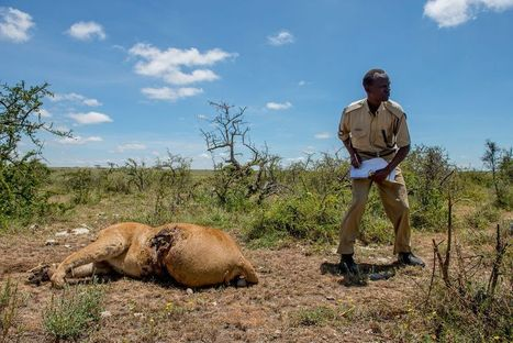 Can Good Come From Maasai Lion Killings in the Serengeti? | Research Capacity-Building in Africa | Scoop.it