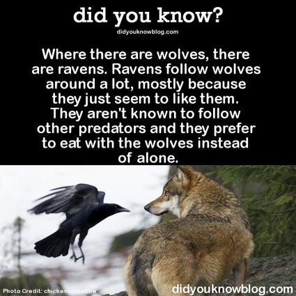 did you know? - Where there are wolves, there are ravens. Ravens...   animals and prosocial capacities   Scoop.it