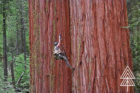 The Redwoods' Last Stand | The EcoPlum Daily | Scoop.it