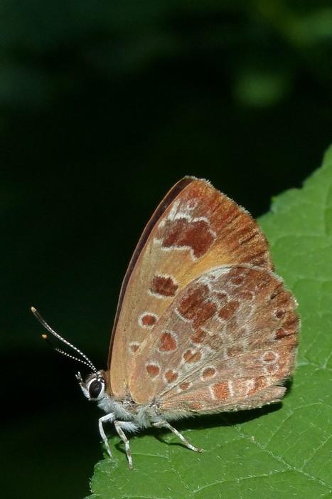 Global : Photos de Papillons du Québec - Papillon du Canada - Papillons non identifiés - Butterflies - Butterfly - Lepidoptera - Lépidoptères - Lépidoptère | Fauna Free Pics - Public Domain - Photos gratuites d'animaux | Scoop.it