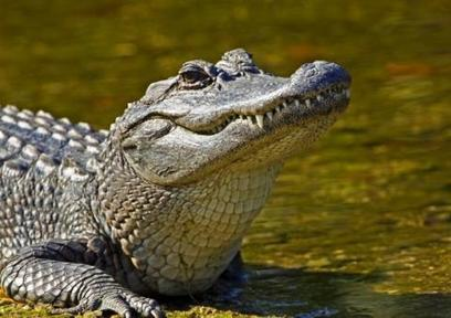 Genome Sequencing Study of Birds and Crocodiles conducted to reveal Secrets of Dinosaurs | Uncover California (Blog) | CALS in the News | Scoop.it
