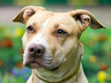 Is It Safe to Keep My Kids Around Pit Bulls? | What Every Personal Injury Victim Needs to Know | Scoop.it