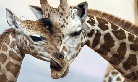 Giraffes live in cohesive societies (ScienceAlert)   Social Network Analysis   Scoop.it