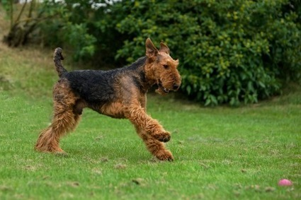 Play Ball | Airedale Terriers | Scoop.it