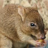 Woylie | Australian Wildlife - The Woylie | Scoop.it