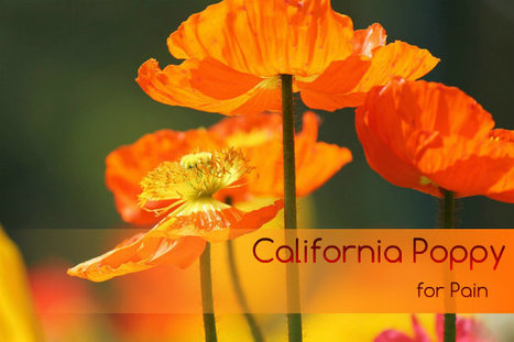 California Poppy for Pain   At Home Health and Beauty Tips   Scoop.it