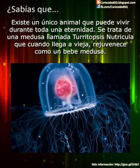 ¿Sabías que?: La medusa Turritopsis Nutricula es el único animal inmortal   Biología y Geología   Scoop.it
