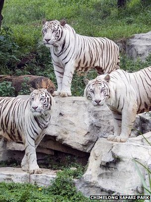 Genetics of white tigers pinpointed - due to a single gene, SLC45A2 | Amazing Science | Scoop.it