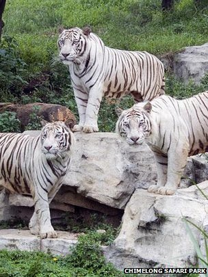 Genetics of white tigers pinpointed - due to a single gene, SLC45A2 | Scientific anomalies | Scoop.it