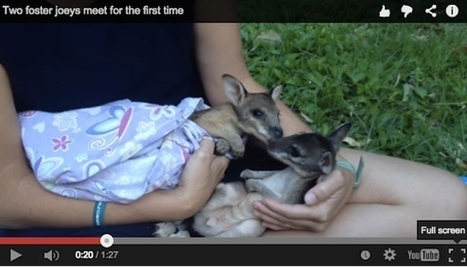 Two foster joeys meet for the first time [Video] | Studying Teaching and Learning | Scoop.it
