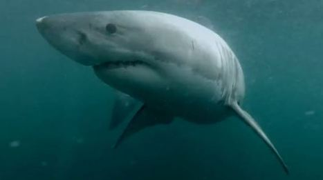 Ultimate terror: man diving into Sydney Harbour confronted by great white shark | Cool things to do in Sydney | Scoop.it