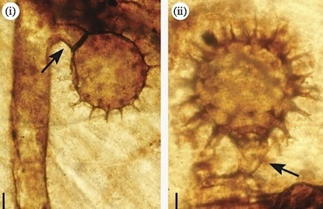 Proc Royal Society B: Evidence of parasitic Oomycetes (Peronosporomycetes) infecting the stem cortex of the Carboniferous seed fern Lyginopteris oldhamia (2010)   Health   Scoop.it