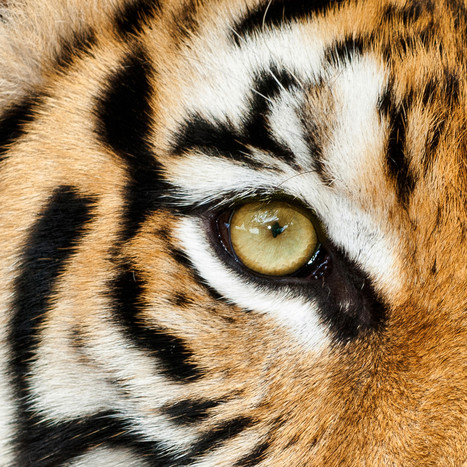 10 Things You Didn't Know About The Endangered Tiger (PHOTOS) - Huffington Post | Cats | Scoop.it