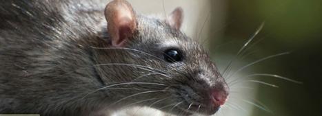 How To Detect A Rat Infestation - Pest Control Glasgow   pest control   Scoop.it