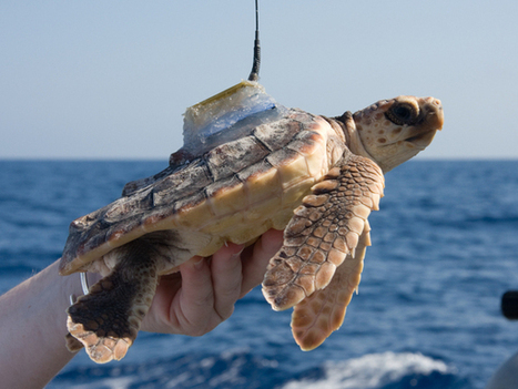 Biologists Use Tracking Devices to Uncover Early Life of Florida's Loggerhead ... - Nature World News | Marine Conservation and Ecology | Scoop.it