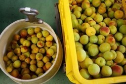 Umeshu Plum Win | News | Scoop.it