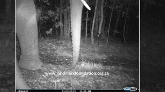 Wild elephant spotted in Knysna forest - South African Broadcasting Corporation | Practice | Scoop.it