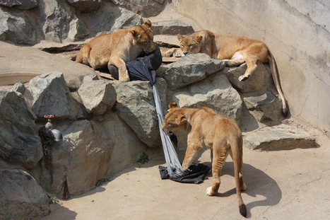 Jeans designed by lions and tigers are a win-win for zoos | Quite Interesting News | Scoop.it