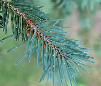 Douglas fir needle midge damage showing up in Christmas tree plantations | Christmas Trees and More | Scoop.it