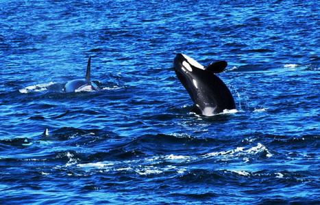 Orcinus orca.   #OrcaAvengers   Scoop.it