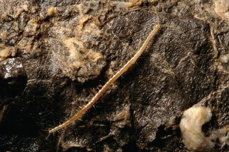 Scientists name the deepest cave-dwelling centipede after Hades - the Greek God of the underworld | Amazing Science | Scoop.it