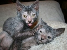 Lykoi cat that looks like a werewolf | Cats Rule the World | Scoop.it