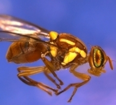 UNSW scores world first for fruit fly genetics | UNSW Newsroom | BS2040: Bioinformatics | Scoop.it