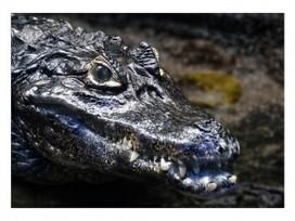 Don't Freak Out Or Anything, But Crocodiles Have Supersenses - Geekosystem | Predator versus Prey Senses | Scoop.it