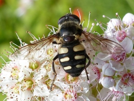 Photo de Syrphidae du Québec - Sericomyia transversa - Séricomyie transverse   Fauna Free Pics - Public Domain - Photos gratuites d'animaux   Scoop.it
