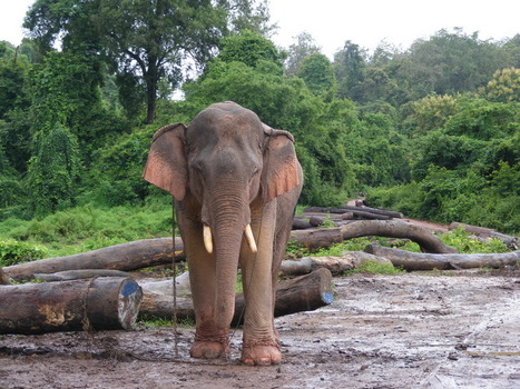 Really Laos, you shouldn't have: giving elephants to Japan is a bad idea   The Wild Planet   Scoop.it