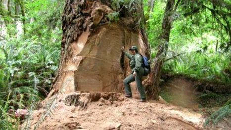 Poachers targeting California's redwoods to feed drug habits | Criminology and Economic Theory | Scoop.it