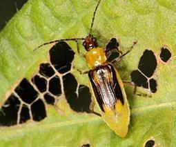 Delaying Resistance to Bt Corn in Western Corn Rootworm | Sustain Our Earth | Scoop.it