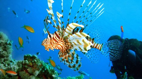 Lionfish Attacking Atlantic Ocean Like A Living Oil Spill : NPR | All about water, the oceans, environmental issues | Scoop.it