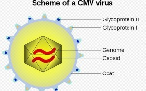 How cytomegalovirus evades the immune system | MicrobiologyBytes | Scoop.it