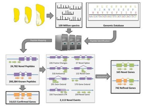 An Automated Proteogenomic Method Utilizes Mass Spectrometry to Reveal Novel Genes in Zea mays   Proteomics   Scoop.it