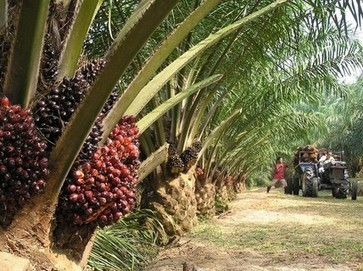 Concerned about palm oil? Boycotting won't change a thing - FoodNavigator.com   inquiring   Scoop.it