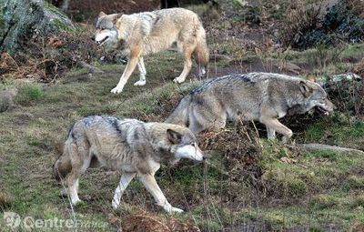 Le loup sauvage de retour en Limousin ? | Mes p... | Veille écologique | Scoop.it