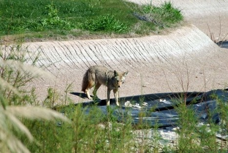 Urban Coyotes Move To The City - Science News - redOrbit | leapmind | Scoop.it