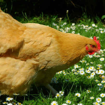 The Ultimate Guide to Raising Chickens and Hens - FarmerSpot.com | Farming and the Countryside | Scoop.it