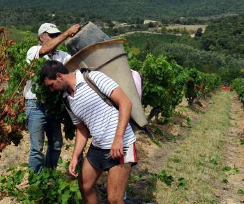 Vendanges : espoirs pour un excellent cru 2012 - La Dépêche | Actualité de l'Industrie Agroalimentaire | agro-media.fr | Scoop.it