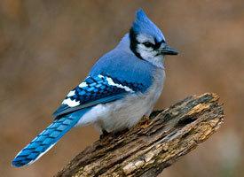 Blue Jays INFO | Blue Jays | Scoop.it