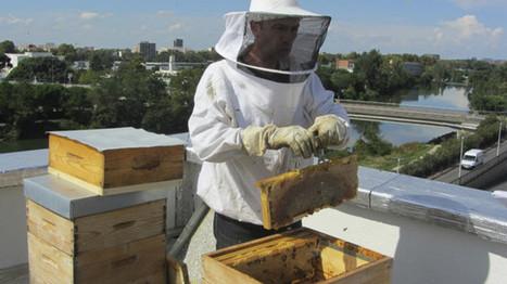 De plus en plus d'abeilles et de ruches en centre-ville de Toulouse   Le monde des abeilles   Scoop.it