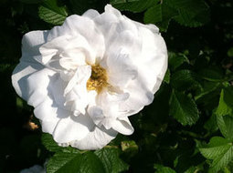 Why Do My White Roses Have Red Flowers? | Annie Haven | Haven Brand | Scoop.it