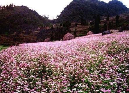 Mùa hoa tam giác mạch tháng 10 – hãy xách vali lên và đi | Giá mua vali kéo du lịch ở tại Hà Nội, TPHCM | Scoop.it