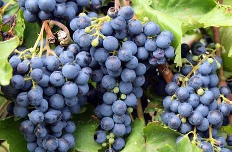 Climate change threatens European wine production | Agriculture news & innovations | Scoop.it